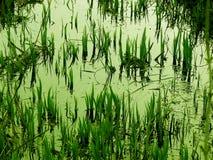 沼泽 免版税库存照片