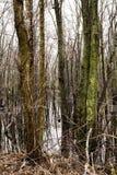 沼泽Forrest 免版税库存照片
