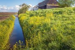 沿一个垄沟的黄色开花的油菜籽在一个农业地区 免版税图库摄影