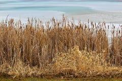 沿一个池塘的芦苇在春天 免版税库存照片