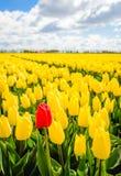 沿一个领域的红色郁金香与许多黄色部分 免版税库存图片