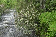 沿一条发怒的小河的山月桂在春天 库存图片