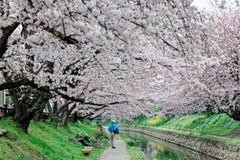 沿一条小径的休闲步行在桃红色樱花树下一个浪漫拱道  免版税库存照片