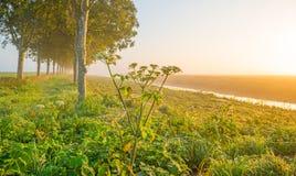 沿一条运河的树通过在日出的一个有薄雾的领域在秋天 免版税图库摄影