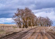 沿乡下公路的刺槐 免版税库存图片