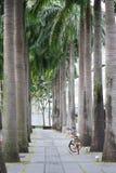 沿具体走道的大高plam树 库存图片