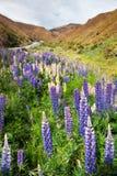 沿冠范围路的紫色和黄色羽扇豆在新西兰 图库摄影
