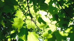 沿叶子的照相机移动,阳光通过叶子做它的方式在森林里早晨光芒发光之间 影视素材