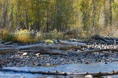 沿吃草小河的鹿 免版税库存照片