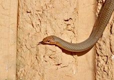 沿垂直的黏土墙壁的里海鞭蛇Dolichophis caspius爬行 免版税库存照片