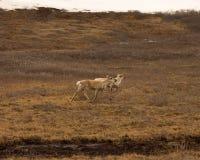 沿多尔顿高速公路的阿拉斯加的羚羊 库存照片