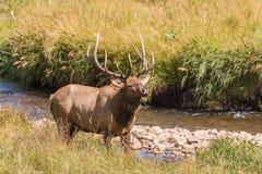 沿小河的公牛麋Bugling 免版税图库摄影