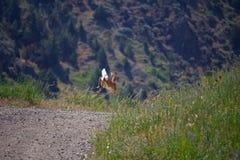 沿小路的跳起的小鹿鹿奔跑 免版税库存照片