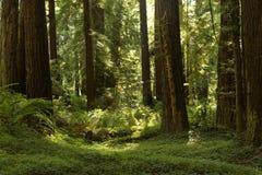 沿巨人的大道的红木树丛,加利福尼亚 免版税库存照片