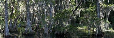 沿彩虹河的Pano有伟大蓝色的苍鹭的巢的 免版税库存图片