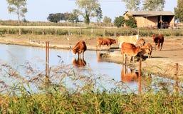 沿意大利人Comacchio湖的饮用的母牛 免版税库存图片
