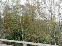 沿木板走道,拔塞螺旋沼泽圣所的树 库存图片