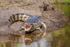 沿河岸的冷却的凯门鳄与反射 免版税库存照片