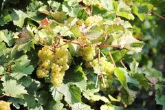 沿河摩泽尔(Mosel)的白葡萄酒葡萄 库存照片