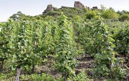 沿河摩泽尔(Mosel),德国的Beilstein葡萄园 免版税库存照片
