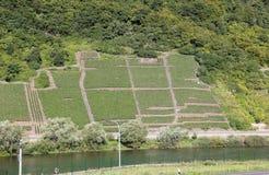 沿河摩泽尔(Mosel),莱茵河流域巴列丁奈特,德国的Mosel葡萄园 免版税图库摄影