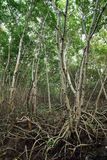 沿河的美洲红树树 美洲红树树根在一个热带密林 库存图片