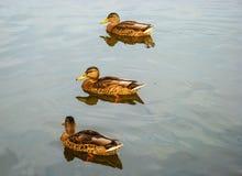 沿河的鸭子游泳 库存图片