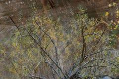 沿泰勒小河, Kolob,锡安国家公园,犹他的手指峡谷中间叉子的植物群  库存照片