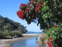 沿海新的pohutukawa西兰 免版税库存照片