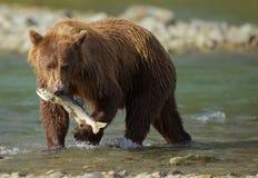 沿海棕熊 免版税库存图片