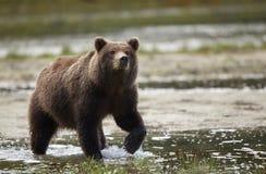 沿海棕熊 免版税库存照片