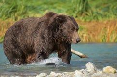 沿海棕熊 库存图片
