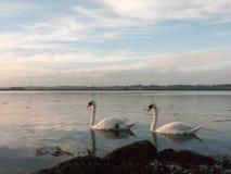 沿海水域与白色疣鼻天鹅家庭天天空的海洋场面 库存照片