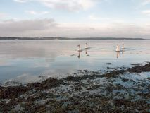 沿海水域与白色疣鼻天鹅家庭天天空的海洋场面 图库摄影