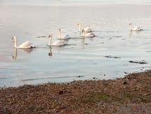 沿海水域与白色疣鼻天鹅家庭天天空的海洋场面 库存图片