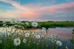 沿海滨的春黄菊野花在日落的荷兰开拓地风景 DEFOCUSED?? 免版税库存照片