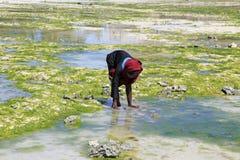 沿海滩的妇女寻找的海草, Nungwi,桑给巴尔,坦桑尼亚 图库摄影