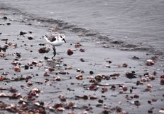 沿海滩的鸣唱珩科鸟 免版税图库摄影