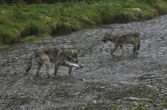 沿海狼钓鱼 免版税库存图片