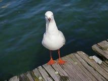 沿海的凝视海鸥 免版税库存图片