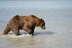 沿海阿拉斯加北美灰熊棕熊沿河漫步,钓鱼为三文鱼 图库摄影