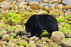 沿海黑熊 库存照片