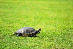 沿海黑鸭佛罗里达乌龟 库存图片
