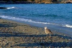 沿海滩海鸥的早晨步行 免版税库存照片