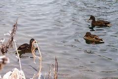 沿湖的三只鸭子游泳 免版税库存照片