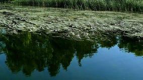 沿湖的芦苇在北明尼苏达支持在Bemidji附近 股票录像