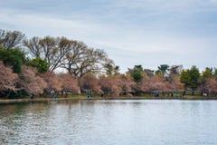 沿潮水坞的樱花,在华盛顿特区, 库存照片