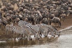 沿玛拉河的斑马饮用水 免版税图库摄影