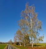 沿白杨木小径高大的树木 免版税库存图片