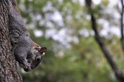 沿着走树的小的灰鼠 库存图片